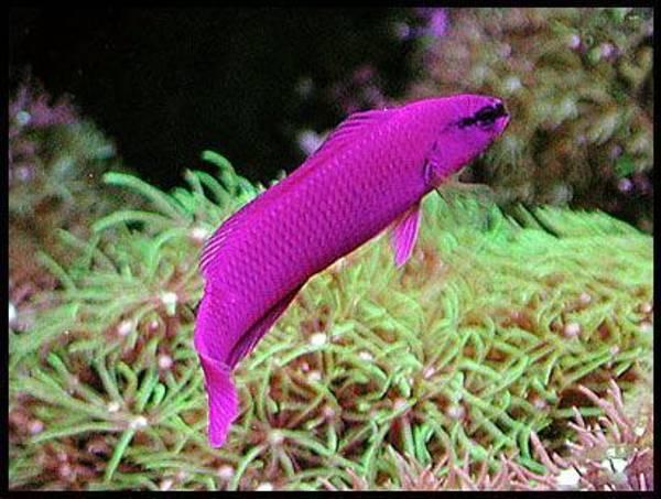 Bilde av Orcid Dottyback / Pseudochromis fridmani F1 4-6cm