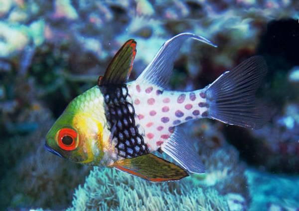 Bilde av Sphaeramia nematoptera / Pysjamas fisk