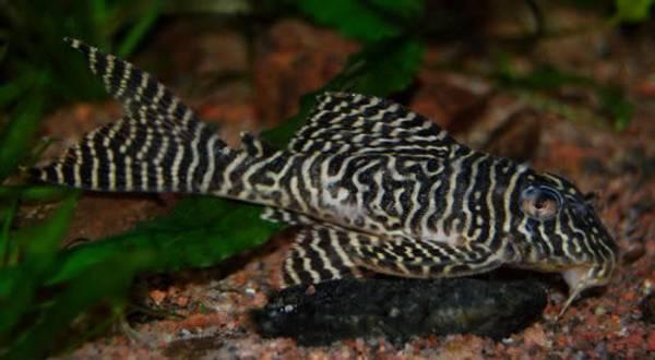 Bilde av L066 Hypancistrus 3-4cm
