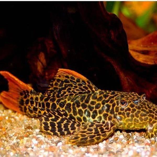 Bilde av  L114 Psudachantichus 3-4cm