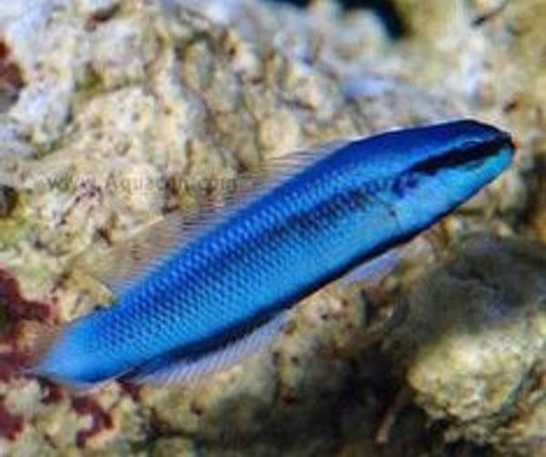 Bilde av Pseudochromis sankeyi/fridmani F1